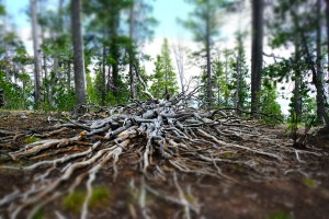 Tree roots reaching toward the viewer with the top and bottom edges of the photo blurred.