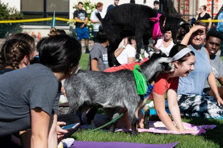 Goat standing on top of student doing yoga