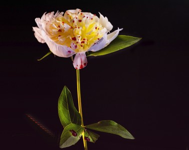 One peony against a black background with red drippings on it.