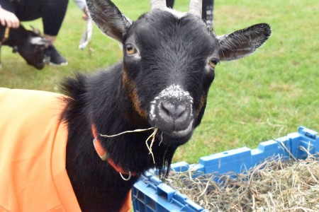One of the goats from the goat yoga event.